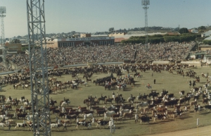 Livestock parade main arena Ekka c1981