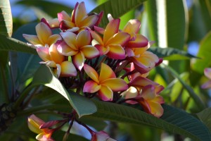 I think this is my favourite frangipani but not in my garden, sadly.