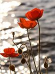 Image of poppies from Wikipedia.