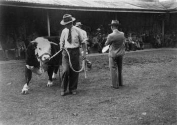 Hereford bull SLQ 1948