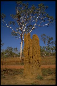 092 Termite mounds and gum tree copy