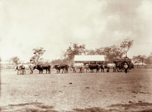 Bullock dray loaded with wool, Qld 1898. Image from Qld State Archives, out of copyright.