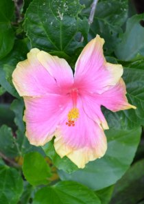 A hibiscus for Kaye.