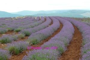 Lavender Bridestowe Tasmania Jan 09