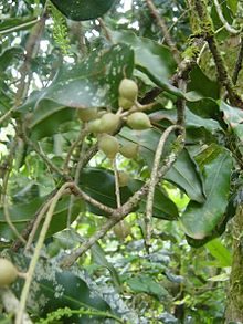 Queensland nuts or Macadamias on the tree. Image from wikipedia.