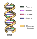 DNA_simple2.svg