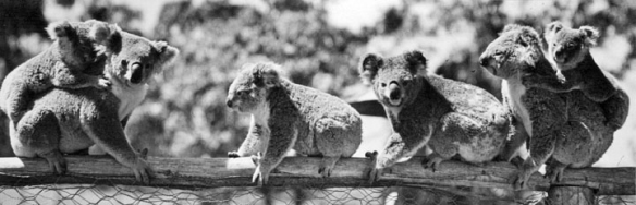 koalas at lone pine 1939 copy