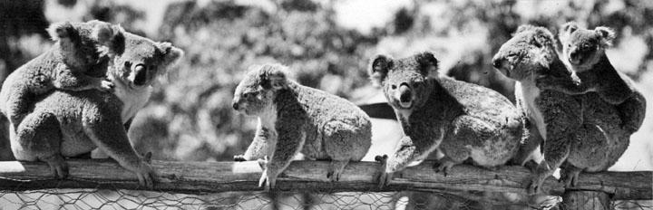 koalas at lone pine 1939 copy